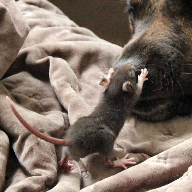 Необычные друзья: Огромная овчарка и маленькая крыска, которые подружились в приюте.