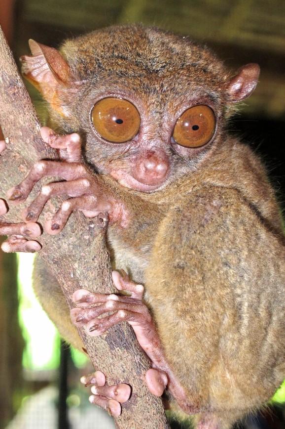 Самые маленькие приматы на планете!